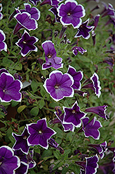 Rhythm And Blues Petunia (Petunia 'Rhythm And Blues') at Hillermann Nursery