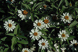 Zahara® White Zinnia (Zinnia 'Zahara White') at Hillermann Nursery