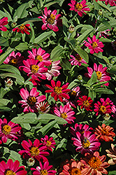Profusion Cherry Zinnia (Zinnia 'Profusion Cherry') at Hillermann Nursery