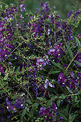 AngelMist® Spreading Purple Angelonia (Angelonia angustifolia 'AngelMist Spreading Purple') at Hillermann Nursery