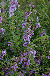 AngelMist® Purple Angelonia (Angelonia angustifolia 'AngelMist Purple') at Hillermann Nursery