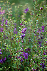 Angelina Deep Plum Angelonia (Angelonia angustifolia 'Angelina Deep Plum') at Hillermann Nursery