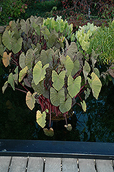 Royal Hawaiian® Maui Magic Elephant Ear (Colocasia esculenta 'Maui Magic') at Hillermann Nursery
