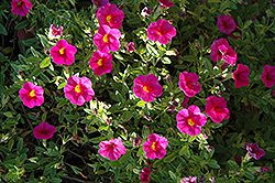Superbells® Cherry Red Calibrachoa (Calibrachoa 'Superbells Cherry Red') at Hillermann Nursery