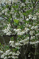 Japanese Snowbell (Styrax japonicus) at Hillermann Nursery