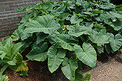 Elephant's Ear (Caladium colocasia) at Hillermann Nursery