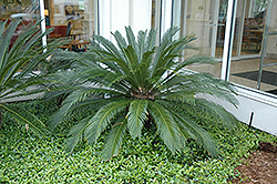 Japanese Sago Palm (Cycas revoluta) at Hillermann Nursery