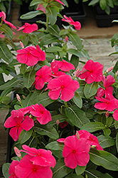 Mediterranean Deep Rose Vinca (Catharanthus roseus 'Mediterranean Deep Rose') at Hillermann Nursery