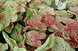Miss Muffet Caladium (Caladium 'Miss Muffet') at Hillermann Nursery