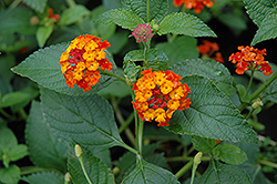 Dallas Red Lantana (Lantana camara 'Dallas Red') at Hillermann Nursery