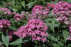 Butterfly™ Lavender Star Flower (Pentas lanceolata 'Butterfly Lavender') at Hillermann Nursery