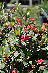 Crown Of Thorns (Euphorbia milii) at Hillermann Nursery
