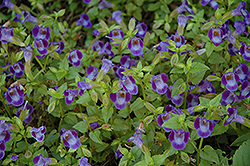 Wishbone Flower (Torenia fournieri) at Hillermann Nursery