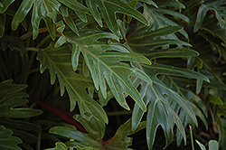 Xanadu Philodendron (Philodendron 'Winterbourn') at Hillermann Nursery