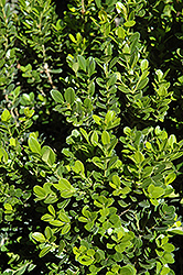 Baby Gem™ Boxwood (Buxus microphylla 'Gregem') at Hillermann Nursery