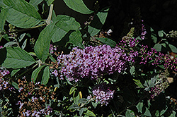 Lo And Behold® Lilac Chip Dwarf Butterfly Bush (Buddleia 'Lo And Behold Lilac Chip') at Hillermann Nursery
