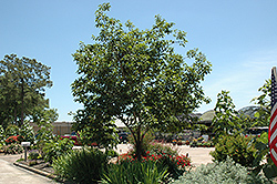Common Persimmon (Diospyros virginiana) at Hillermann Nursery