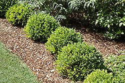 Green Velvet Boxwood (Buxus 'Green Velvet') at Hillermann Nursery