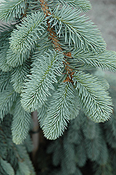 The Blues Colorado Blue Spruce (Picea pungens 'The Blues') at Hillermann Nursery
