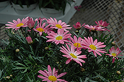 Angelic Giant Pink Marguerite Daisy (Argyranthemum frutescens 'Angelic Giant Pink') at Hillermann Nursery