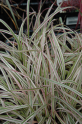 Cherry Sparkler Fountain Grass (Pennisetum setaceum 'Cherry Sparkler') at Hillermann Nursery