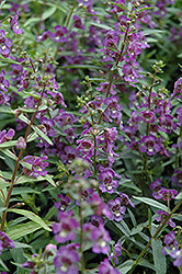 Alonia Dark Blue Angelonia (Angelonia angustifolia 'Alonia Dark Blue') at Hillermann Nursery