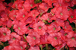 Easy Wave Coral Reef Petunia (Petunia 'Easy Wave Coral Reef') at Hillermann Nursery