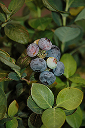 Peach Sorbet® Blueberry (Vaccinium 'ZF06-043') at Hillermann Nursery