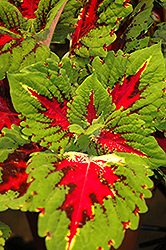Kong Jr. Rose Coleus (Solenostemon scutellarioides 'Kong Jr. Rose') at Hillermann Nursery