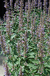 Purple Haze Hyssop (Agastache 'Purple Haze') at Hillermann Nursery