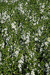 Angelface® White Angelonia (Angelonia angustifolia 'Angelface White') at Hillermann Nursery