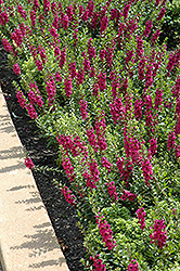 Archangel™ Raspberry Angelonia (Angelonia angustifolia 'Archangel Raspberry') at Hillermann Nursery