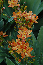 Freckle Face Blackberry Lily (Iris domestica 'Freckle Face') at Hillermann Nursery