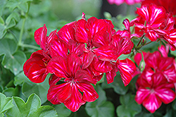 Precision Red Ice Ivy Leaf Geranium (Pelargonium peltatum 'Precision Red Ice') at Hillermann Nursery