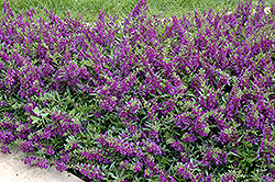 AngelMist® Spreading Dark Purple Angelonia (Angelonia angustifolia 'AngelMist Spreading Dark Purple') at Hillermann Nursery