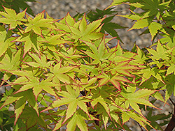 Coral Bark Japanese Maple (Acer palmatum 'Sango Kaku') at Hillermann Nursery