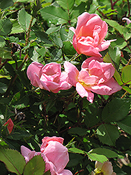 Rainbow Knock Out® Rose (Rosa 'Radcor') at Hillermann Nursery