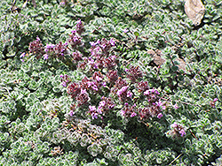 Wooly Thyme (Thymus pseudolanuginosis) at Hillermann Nursery