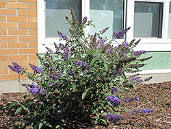 Nanho Blue Butterfly Bush (Buddleia davidii 'Nanho Blue') at Hillermann Nursery