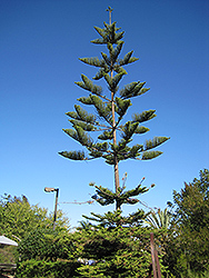 Norfolk Island Pine (Araucaria heterophylla) at Hillermann Nursery