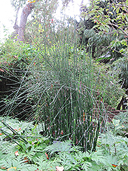 Horsetail (Equisetum hyemale) at Hillermann Nursery