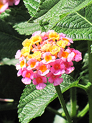 Lantana (Lantana camara) at Hillermann Nursery