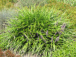 Lily Turf (Liriope spicata) at Hillermann Nursery