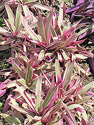Variegated Moses In The Cradle (Tradescantia spathacea 'Variegata') at Hillermann Nursery