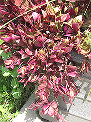 Purple Wandering Jew (Tradescantia fluminensis 'Purple') at Hillermann Nursery