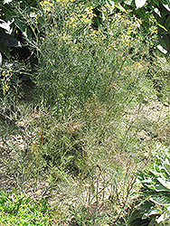 Bronze Fennel (Foeniculum vulgare 'Purpureum') at Hillermann Nursery