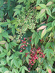Nandina (Nandina domestica) at Hillermann Nursery