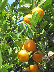 Calamondin (Citrofortunella x mitis) at Hillermann Nursery