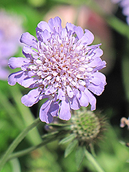 Butterfly Blue Pincushion Flower (Scabiosa 'Butterfly Blue') at Hillermann Nursery