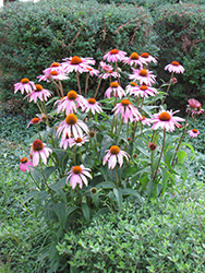 Purple Coneflower (Echinacea purpurea) at Hillermann Nursery